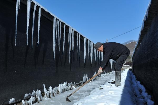 เกษตรกรกวาดน้ำแข็งออกจากเรือนเพาะปลูกในเมืองลี่หนัน มณฑลเจ้อเจียง (23 ม.ค. 2559/ ภาพ เอเอฟพี)