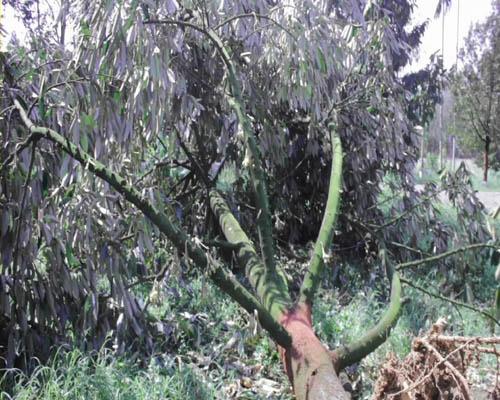 ต้นทุเรียน ถูกลมพัดแรง จนต้นล้มลงกับพื้น