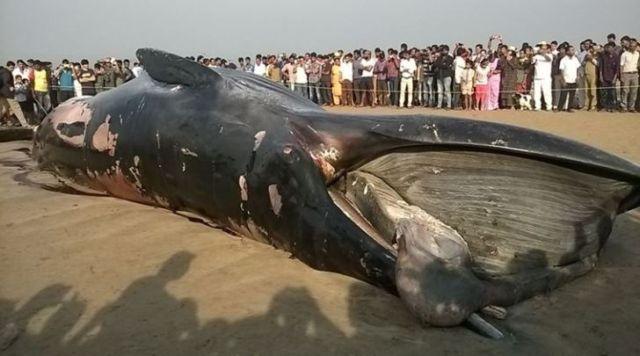 """พบ """"วาฬบรูด้า"""" ยาวเกือบ 12 เมตรตายเกยฝั่งในนครมุมไบ"""
