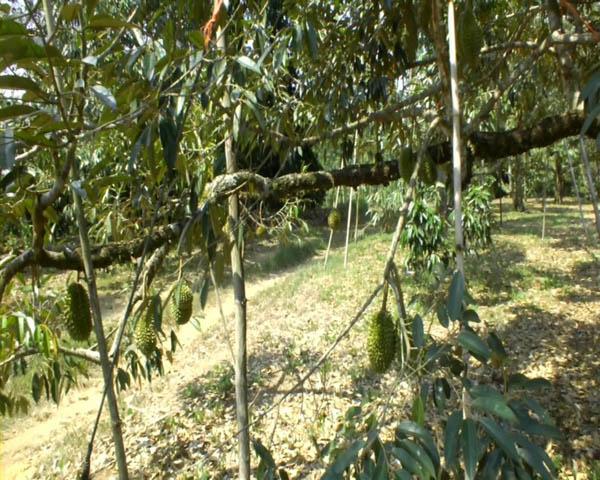 ภัยแล้งเมืองจันท์ เริ่มทำสวนผลไม้ยืนต้นตาย