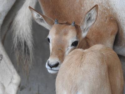 สวนสัตว์เชียงใหม่เฮงรับตรุษจีนสำเร็จครั้งแรกขยายพันธุ์ได้ลูกออริกซ์เขาดาบ