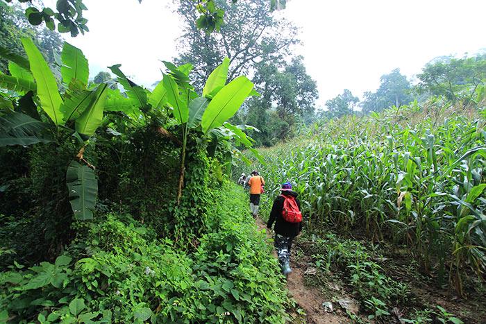 เส้นทางเดินป่าช่วงแรกผ่านไร่ข้าวโพด ดงกล้วยป่า