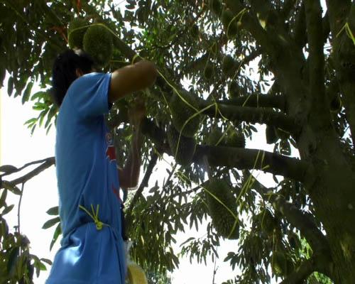ชาวสวนต้องว่าจ้างแรงงาน มาโยงผลทุเรียนกับต้น-กิ่ง ไม่ให้ถูกลมพักผลร่วง