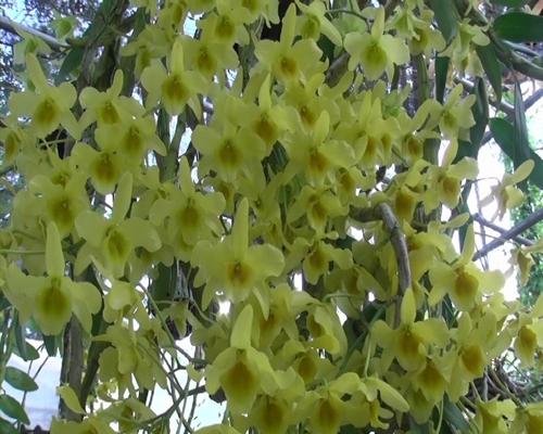 ราชมงคลรักษ์เหลืองจันท์ วันดอกไม้บาน ครั้งที่ 15 ปี 59 เริ่มแล้ว