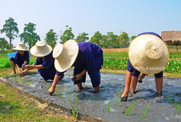 ทดลอง ดำนา-ปลูกข้าว กิจกรรมไฮไลท์ ในโครงการเกษตรอินทรีย์สนามบินสุโขทัย