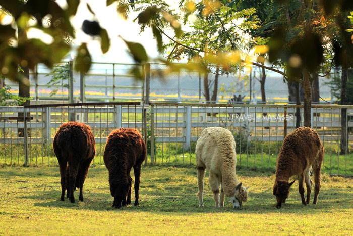 อัลปาก้าก้มกน้าก้มตากินหญ้าอย่างเพลิดเพลิน ในสวนสัตว์ สนามบินสุโขทัย