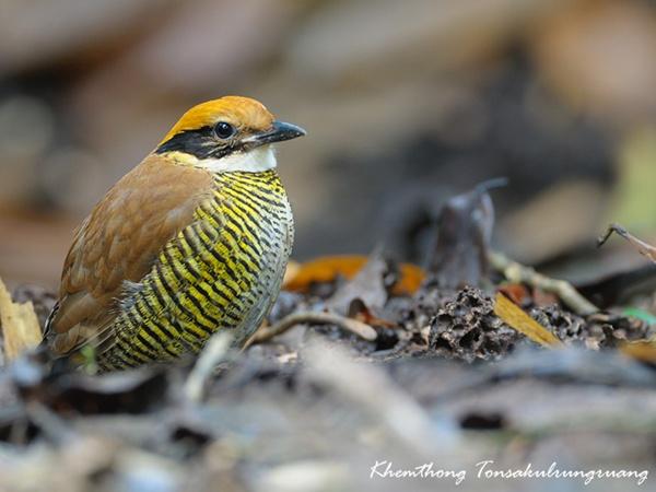 """นักอนุรักษ์ถาม..คิดจะนำ """"นกแต้วแร้ว"""" มาจากพม่า แล้วจัดการป่าดีหรือยัง"""