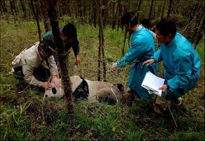 """""""เซียงเซียง"""" (2001 – 2007) แพนด้ายักษ์เพศผู้วัย 5 ปี ซึ่งเป็นแพนด้ายักษ์ตัวแรกของศูนย์ ที่ปล่อยคืนป่า แต่กลับต้องจบชีวิตถูกฆ่าตายด้วยกรงเล็บของแพนด้าป่า หลังจากเซียงเซียง ได้ใช้ชีวิตจริงในป่าเพียง 10 เดือน (ภาพเอเจนซี)"""
