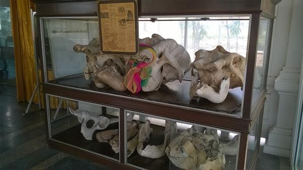 หัวกะโหลกช้างที่ขุดจากรอบเจดีย์โบราณที่กาญจนบุรี