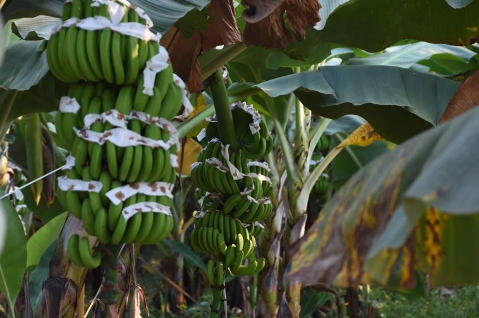 """ปูด กลุ่มทุนจีน """"หงต๋า"""" โผล่เช่าปลูกกล้วย พบปิดกิจการในไทยปีก่อน-  """"พาณิชย์"""" ยัน อาชีพเกษตรสงวนคนไทย ปล่อยเช่าที่ดินเพาะปลูกผิดกฎหมาย"""