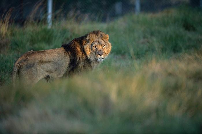การบริหารพลังงานของสิงโตขณะออกล่าเหยื่อและล้มเหยื่อ
