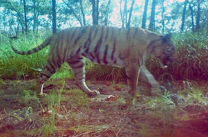 <br><FONT color=#000033>ภาพเสือในป่าของจ.มณฑลคีรี ที่ถูกถ่ายไว้ได้เมื่อวันที่ 29 พ.ย. 2550. -- Agence France-Presse/WWF.</font></b>