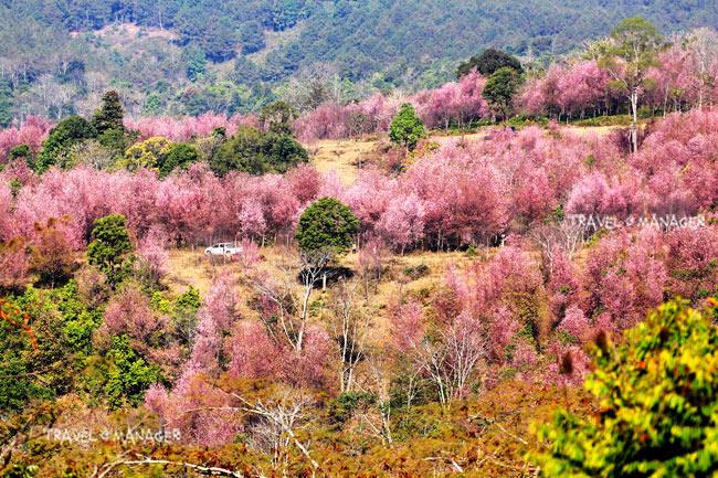 ภูลมโล สถานที่ท่องเที่ยวอันน่าตื่นตาตื่นใจในช่วงฤดูหนาวกับแหล่งชมดอกนางพญาเสือโคร่งที่ใหญ่ที่สุดในเมืองไทย