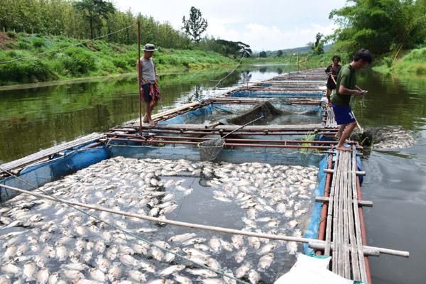 ปลาเลี้ยงกระชังในแม่น้ำเลย อ.เมือง จ.เลย น็อกน้ำตายเป็นเบือ เสียหายกว่า 100 กระชัง รวมสูญกว่า 2 ล้านบาท วันนี้ ( 3 มิ.ย.)