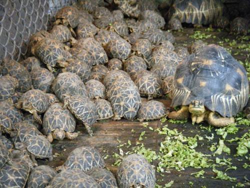 เต่าที่หายไป เป็นเต่าของกลางที่ตรวจยึดมาได้