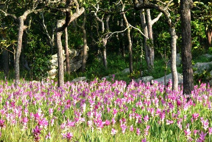 สวรรค์กลางป่า! กับ 5 ที่ชมดอกไม้ป่าหน้าฝนแสนสวย หนึ่งปีมีครั้งเดียว/ปิ่น บุตรี