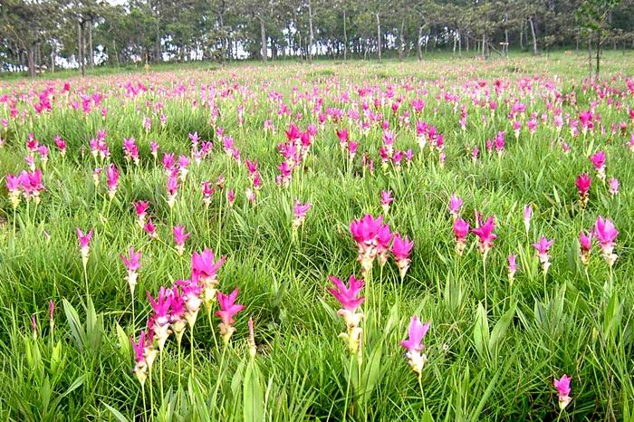 ทุ่งดอกกระเจียว อช.ไทรทอง ปกติจะบานหลังทุ่งดอกกระเจียวป่าหินงาม และดอกมีสีสันสดกว่า