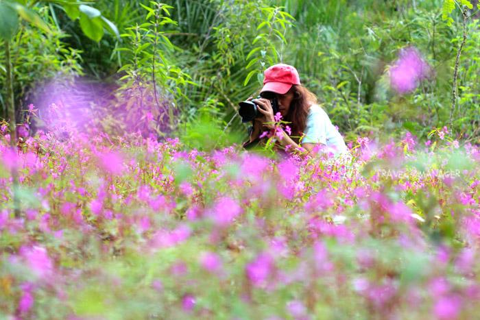 นักท่องเที่ยวบันทึกภาพความงามทุ่งดอกเทียนปีกผีเสื้อ บนดอยหัวหมด