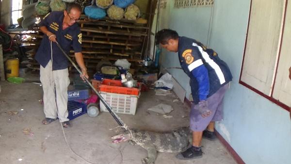 ตัวเงินตัวทองหนักกว่า 50 กก.ถูกสุนัขไล่กัดหนีซ่อนตัวในโรงรถชาวอ่างทอง แจ้งกู้ภัยจับ