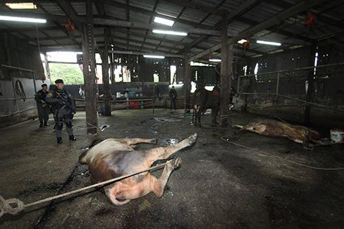 """""""กรมปศุสัตว์"""" สนธิกำลังบุกจับ """"โรงฆ่าสัตว์เถื่อน"""" ขนาดใหญ่ 2 แห่ง ในนนทบุรี ของเครือข่ายกำนันคนดัง"""