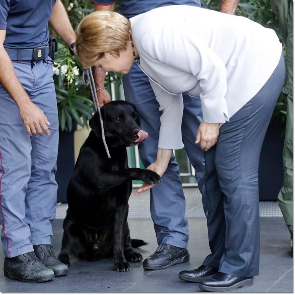 วันพฤหัสบดี(1 ก.ย)นายกรัฐมนตรีเยอรมันทำการเช็กแฮนด์ทักทายกับตูบแสนรู้ สายพันธุ์ลาบราดอร์ รีทริฟเวอร์สีดำสนิทนาม ลีโอ ที่สามารถช่วยดึงจอร์เจีย รินาลโด(Giorgia Rinaldo) หนูน้อยชาวอิตาลีวัย 4 ปีให้หลุดออกมาจากใต้ซากปรักหักพังในเมืองเปสกาลา เดล ตรอนโต(Pescara del Tronto) หลังเหตุการณ์แผ่นดินไหวระดับ 6.2 ทางตอนกลางของอิตาลีสำเร็จ ภาพจากเอเจนซีส์