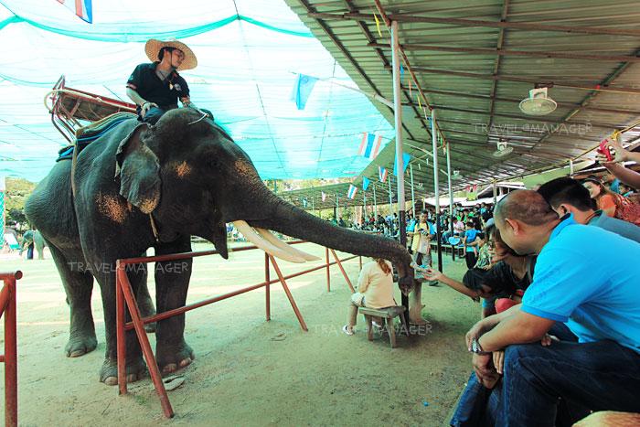ช้างแวะเข้ามาทักทายกับผู้ชมในศูนย์คชศึกษา
