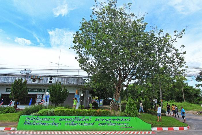 """""""ต้นยางพาราต้นแรกของประเทศไทย"""" ที่ อ.กันตัง"""