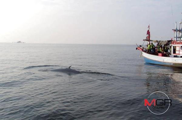 """มาถึงแล้ว! เทศกาล """"ชมวาฬบรูด้า"""" ที่บ้านแหลม-หาดเจ้าสำราญ นายอำเภอสั่งเตรียมแผนรับมือนักท่องเที่ยว (ชมคลิป)"""