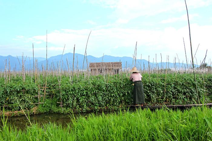 สวนผักลอยน้ำในทะเลสาบอินเล