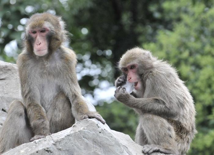 ทีมวิจัยญี่ปุ่นสร้างสเต็มเซลล์หัวใจจากเซลล์ผิวของลิงตัวหนึ่งด้วยเทคนิค IPSC ก่อนปลูกถ่ายให้ลิงที่เป็นโรคหัวใจอีก 5 ตัว ( (AFP Photo/Yoshikazu Tsuno))