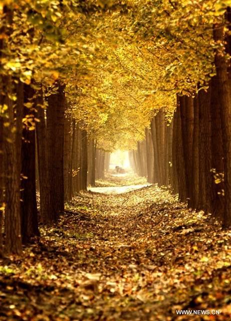 """""""ความงดงามที่ตราตรึง"""" ใบแปะก๊วยเหลืองทองอร่ามสว่างไสวแห่งฤดูใบไม้ร่วง"""