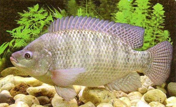 ปลานิล ปลาพระราชทานที่คนไทยกินมากที่สุดในวันนี้