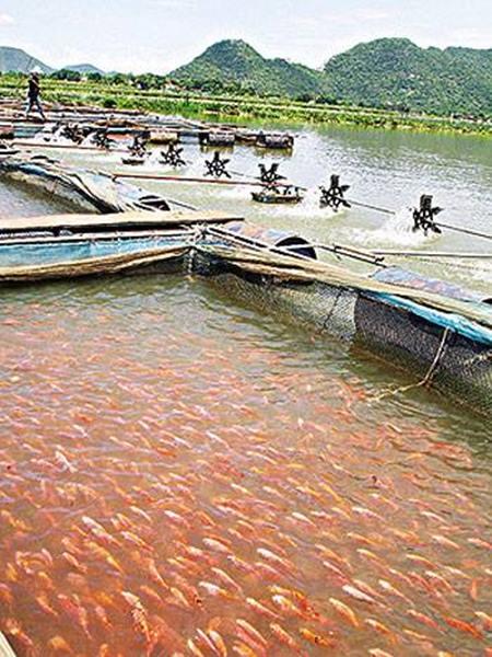การเลี้ยงปลาทับทิมในกระชัง