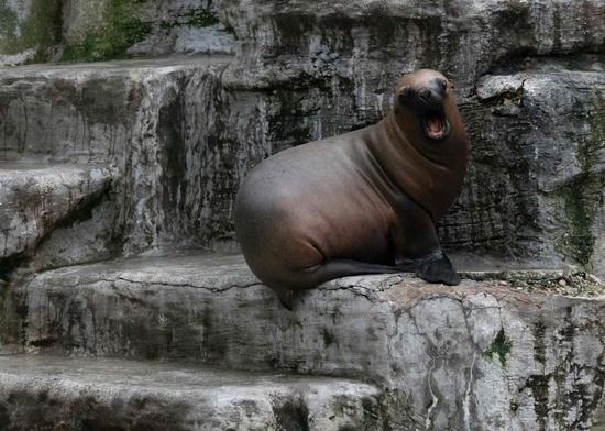 Seal 'attacks surfers' in rare Australia encounter