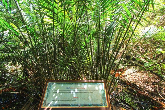 หลุมพี ต้นไม้มีหนามแหลมคม พร้อมป้ายให้ข้อมูลกำกับชัดเจน
