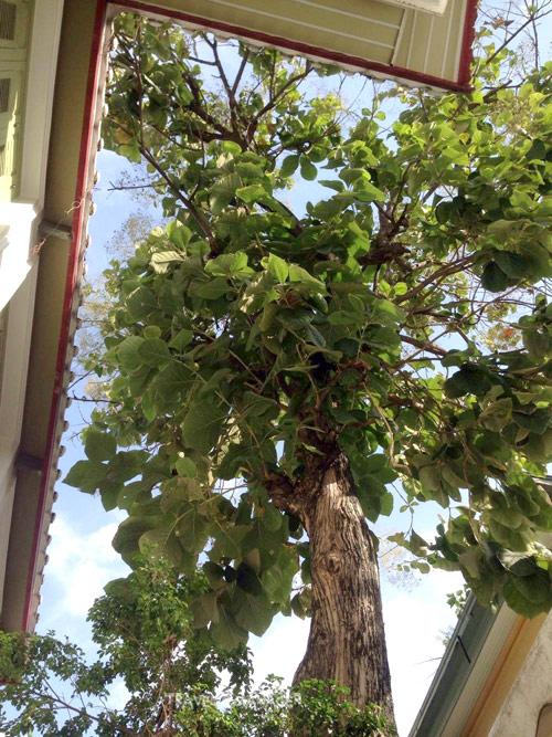ต้นสักที่พระบาทสมเด็จพระเจ้าอยู่หัวทรงปลูกในวันลาผนวชเมื่อวันที่ 5 พ.ย. 2499