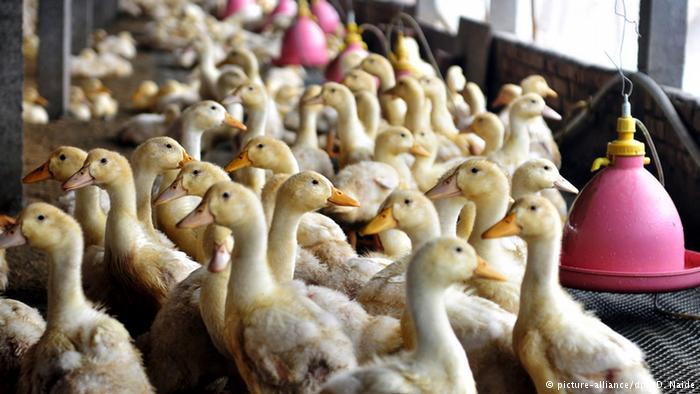 """ญี่ปุ่นพบ """"ไข้หวัดนก"""" ระบาดครั้งแรกในรอบ 2 ปี-สั่งเชือดเป็ดไก่กว่า 300,000 ตัว"""