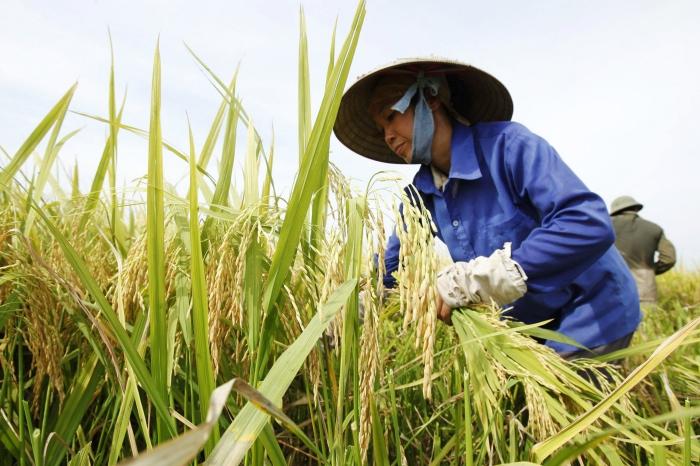 ยอดส่งออกข้าวเวียดนามตกวูบต่ำสุดรอบ 7 ปี เหตุเสียตลาดสำคัญ