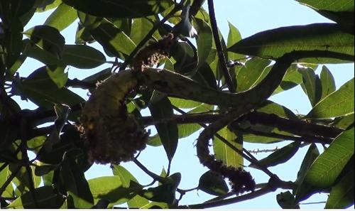 ตะลึง!!! พบต้นมะม่วงออกช่อเป็นเลข ๙ เพื่อนบ้านรู้แห่มาถูขอหวย