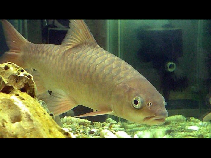 """3 ภาคีวิจัยขยายพันธุ์ """"ปลาพลวงชมพู"""" ปลาเนื้ออร่อยขายที่ฮ่องกงโลละ 8,000"""