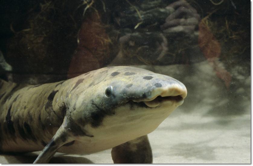 """InClips : ปลาปอดออสเตรเลียคุณปู่ อายุมากที่สุดในโลก ถูกพิพิธภัณฑ์สัตว์น้ำชิคาโก """"จับฆ่าทิ้งเพราะแก่เกิน"""""""