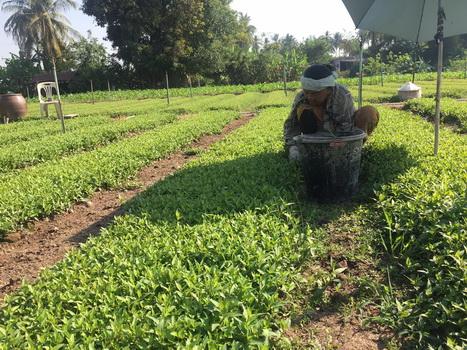 ชาวสวนที่หนองคายปลูกผักแพวขายร้านอาหารเวียดนามรายได้งาม