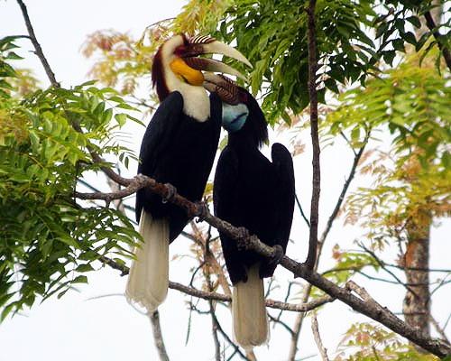 นกเงือกเป็นสัตว์คุ้มครอง ดำรงชีวิตแบบผัวเดียวเมียเดียว มีลักษณะการทำรังที่แปลกจากนกอื่น คือ เมื่อถึงฤดูกาลทำรัง นกคู่ผัวเมียจะพากันหารัง ซึ่งได้แก่ โพรงไม้ตามต้นไม้ใหญ่ เช่น ต้นยาง ที่อยู่ในที่ลับตา เมื่อตัวเมียเข้าไปอยู่ในโพรง จะทำความสะอาดแล้วเริ่มปิดปากโพรง ด้วยวัสดุต่าง ๆ เช่น ดิน เปลือกไม้ ตัวเมียจะขังตัวเองอยู่ภายในเพื่อออกไข่และเลี้ยงลูก