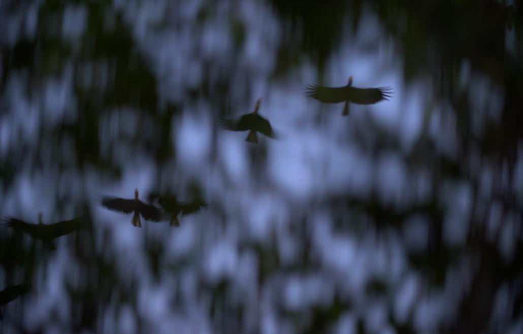 นกเงือกกรามช้างปากเรียบ เขตรักษาพันธุ์สัตว์ป่าทุ่งใหญ่นเรศวรด้านตะวันออก
