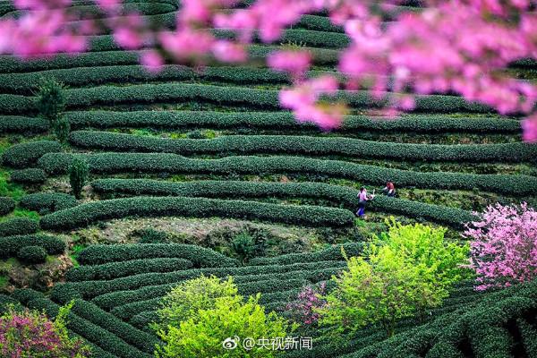 """""""ซากุระ"""" กว่า 150,000 ต้นกลางไร่ชาอู่หลงอันกว้างใหญ่ (ภาพซีซีทีวี)"""