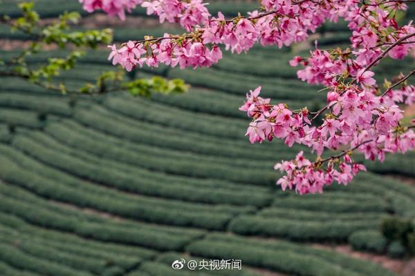 """ต้นอิงฮวา (樱花/cherry blossom) หรือที่คนไทยรู้จักดีในชื่อ """"ซากุระ"""" (ภาพซีซีทีวี)"""
