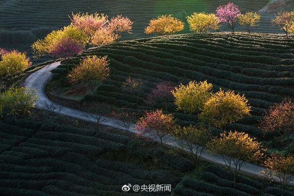 ต้นซากุระกลางไร่ชาอู่หลง (ภาพซีซีทีวี)