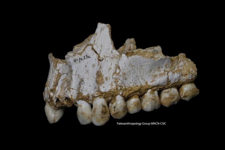 ฟอสซิลกรามของนีแอนเดอร์ทัลที่พบในสเปน เผยร่องรอยการใช้สมุนไพรที่ผลิตยาระงับปวดและฆ่าเชื้อแบบเดียวกับแอสไพรินที่ใช้กันในปัจจุบัน (Handout / Paleoanthropology Group MNCN-CSIC / AFP )