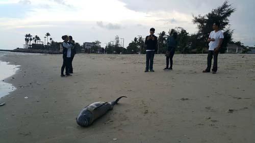 พบโลมาอิรวดี ตายเกยชายหาดแหลมผักเบี้ย