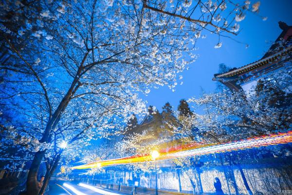 """""""ซากุระ"""" เชิดดอกท้าแสงไฟยามค่ำคืนก่อเป็นทัศนียภาพอันสวยงาม (ภาพหวั่งอี้ สื่อจีน)"""
